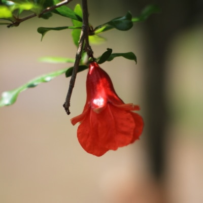 Pomegranate Trees in Alabama