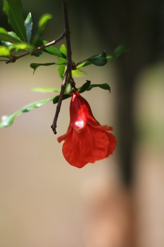 Pomegranate tree in bloom: growing pomegranate is worth the effort.