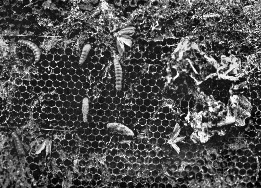 wax moths infesting bee hive