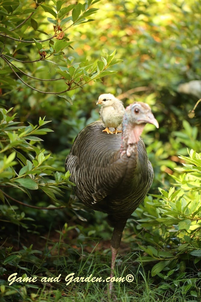Baby Chick Taking a Ride on Momma Turkey