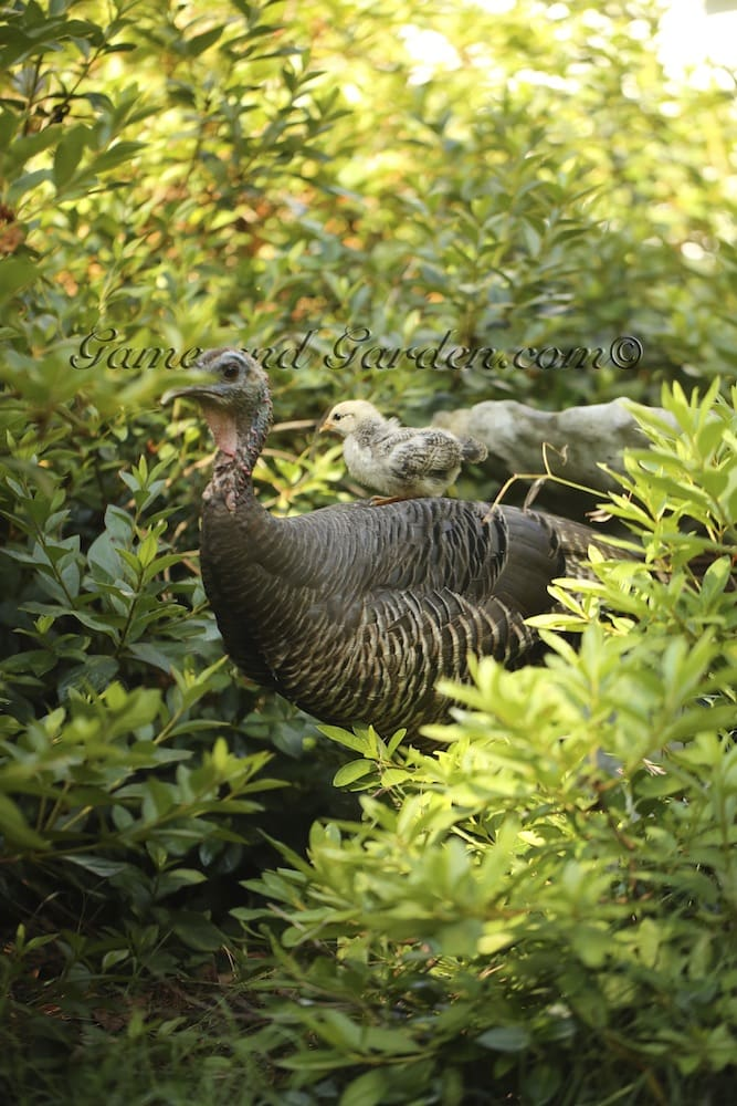 Turkey and Baby Chick Playing in the Azalea Garden