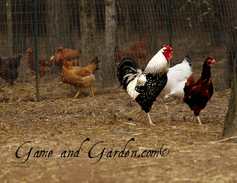 How to Get Started Raising Chickens