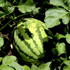 5 Steps to Picking Ripe Watermelons