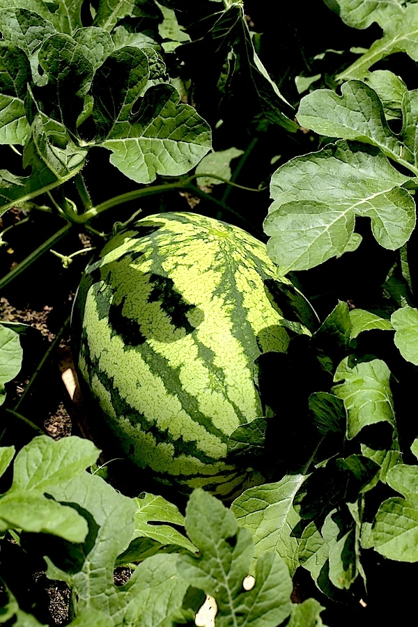 5 Steps to Determine Watermelon Ripeness - just use your senses.
