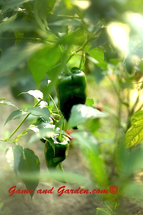 Garden Peppers bring so much color and beauty to the garden.