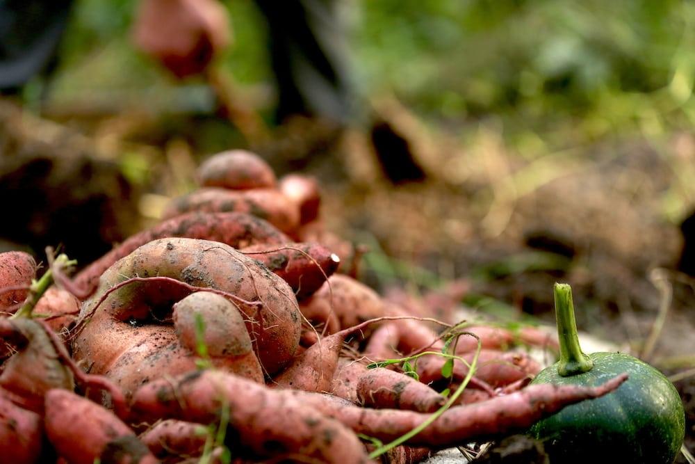Small Sweet Potatoes in yard