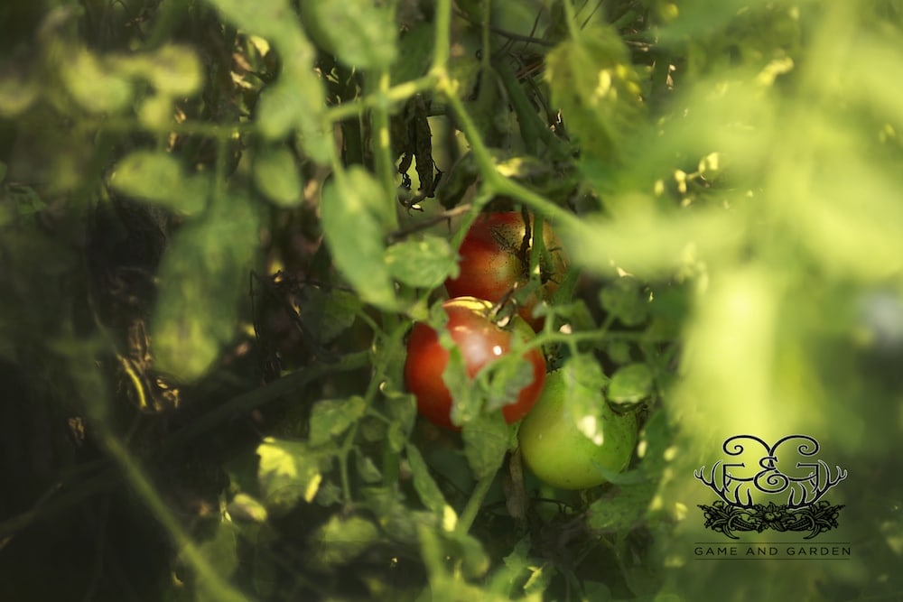One of the joys of gardening is finding that my tomatoes have ripened on the vine and are prime for picking!