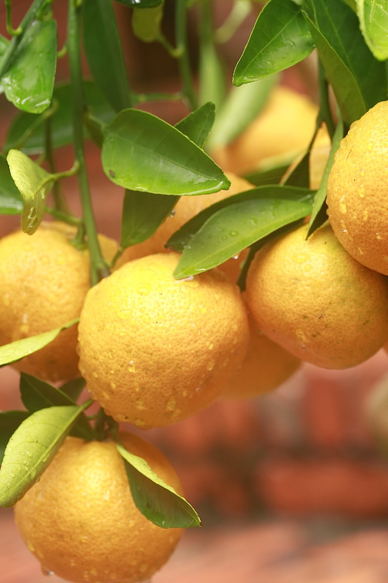 Satsuma Oranges grow pretty well in Alabama, but you can grow other varieties in pots. Growing them in pots allows for you to bring them into your home during the frost nights.