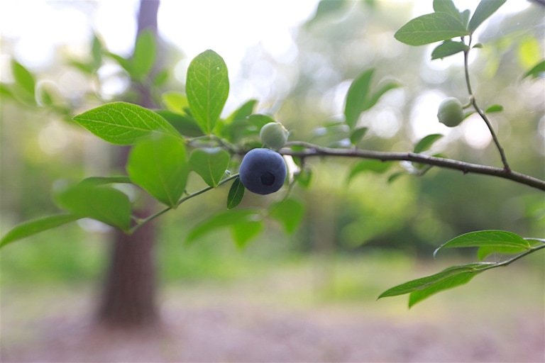 Blueberries, Wild to Cultivated