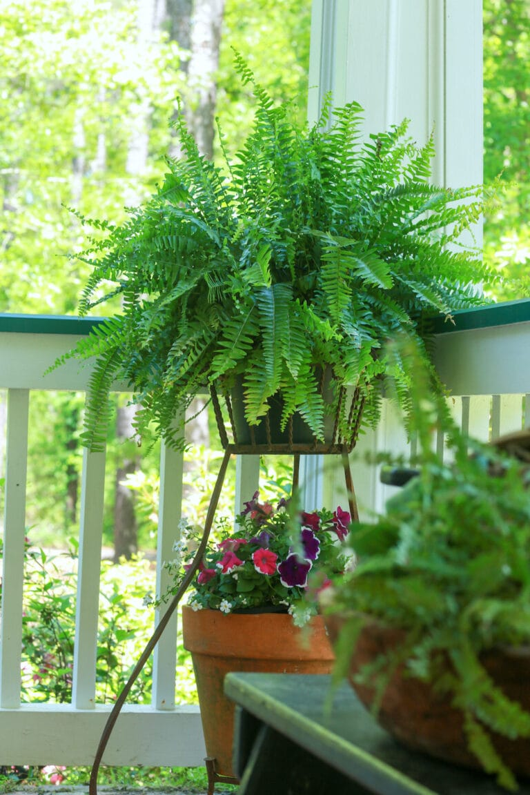 Fern Care: How to Keep Ferns Healthy and Green