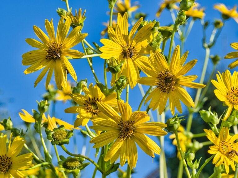 Jerusalem Artichoke, aka Sunchoke: a Survival Plant
