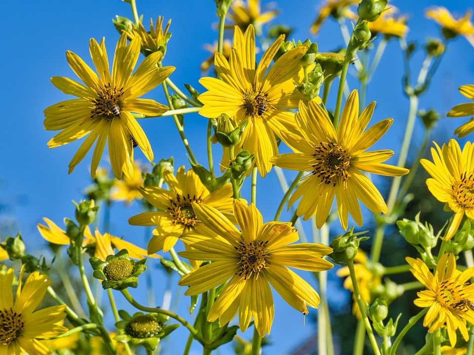 cluster of tall yellow sunchokes against blue sky