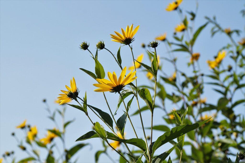tall stalks and flowers of jerusalem artichokes